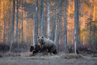 Wild Bears In Forest Background for Android, iPhone and iPad