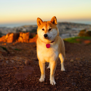 Dogs Akita Inu - Obrázkek zdarma pro iPad 2