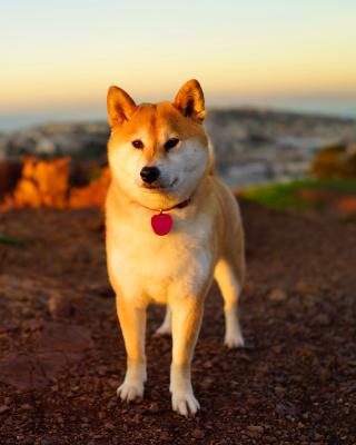 Dogs Akita Inu - Obrázkek zdarma pro Nokia Asha 308