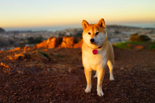 Free Dogs Akita Inu Picture for Android, iPhone and iPad