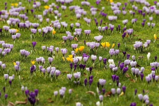 Crocus Meadow Wallpaper for Android, iPhone and iPad