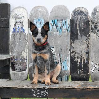 Australian Cattle Dog - Obrázkek zdarma pro 2048x2048