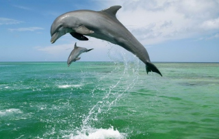 Jumping Dolphins Wallpaper for Android, iPhone and iPad