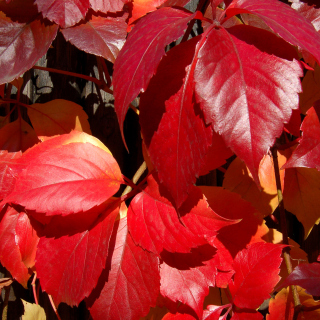 Crimson autumn foliage macro - Obrázkek zdarma pro iPad Air