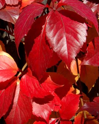 Crimson autumn foliage macro - Obrázkek zdarma pro 132x176