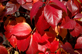 Crimson autumn foliage macro Picture for Android, iPhone and iPad