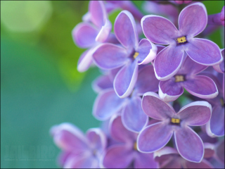 Lilac Wallpaper for Android, iPhone and iPad