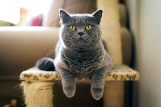 Kostenloses British Shorthair Domestic Cat Wallpaper für Android, iPhone und iPad