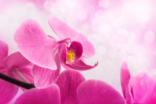 Pink Petals Picture for Android, iPhone and iPad