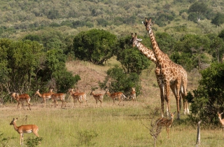Free Giraffes At Safari Picture for Android, iPhone and iPad