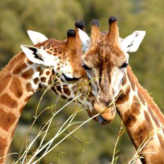 Giraffe Love - Obrázkek zdarma pro iPad Air