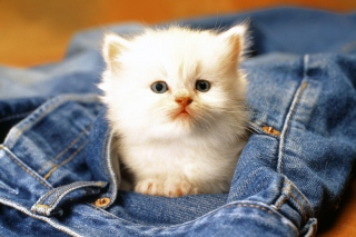 Kitten In Jeans Picture for Android, iPhone and iPad