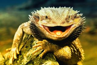 Lizard Dragon - Obrázkek zdarma pro Nokia Asha 302