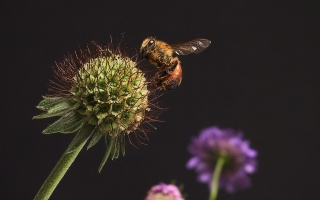 Bee And Flower Wallpaper for Android, iPhone and iPad