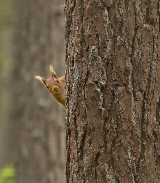 Squirrel Hiding Behind Tree - Obrázkek zdarma pro Nokia Asha 202