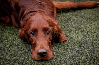 Irish Setter Background for Android, iPhone and iPad