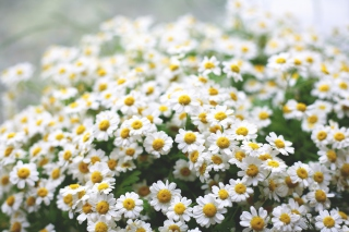 Field Of Daisies Macro Background for Android, iPhone and iPad