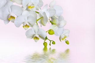 White Orchids Background for Android, iPhone and iPad