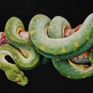 Snake Year - Obrázkek zdarma pro iPad