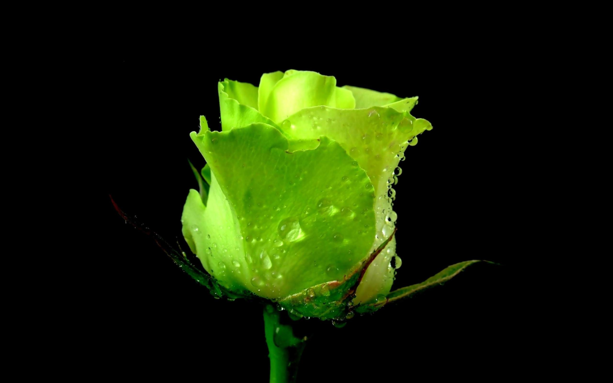 розы,капли,бутоны,зелень  № 759552 загрузить