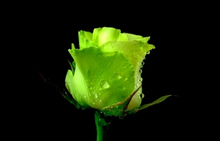 Free Green Rose Picture for Android, iPhone and iPad