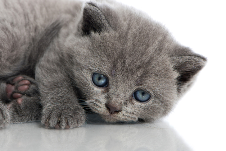 Melancholic blue eyed cat wallpaper