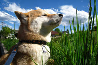 Akita Inu Dog Picture for Android, iPhone and iPad