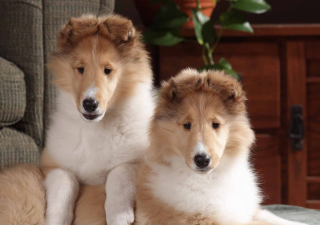 Free Collie Puppies Picture for Android, iPhone and iPad