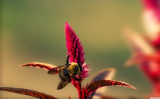 Bee On Pink Flower Background for Android, iPhone and iPad
