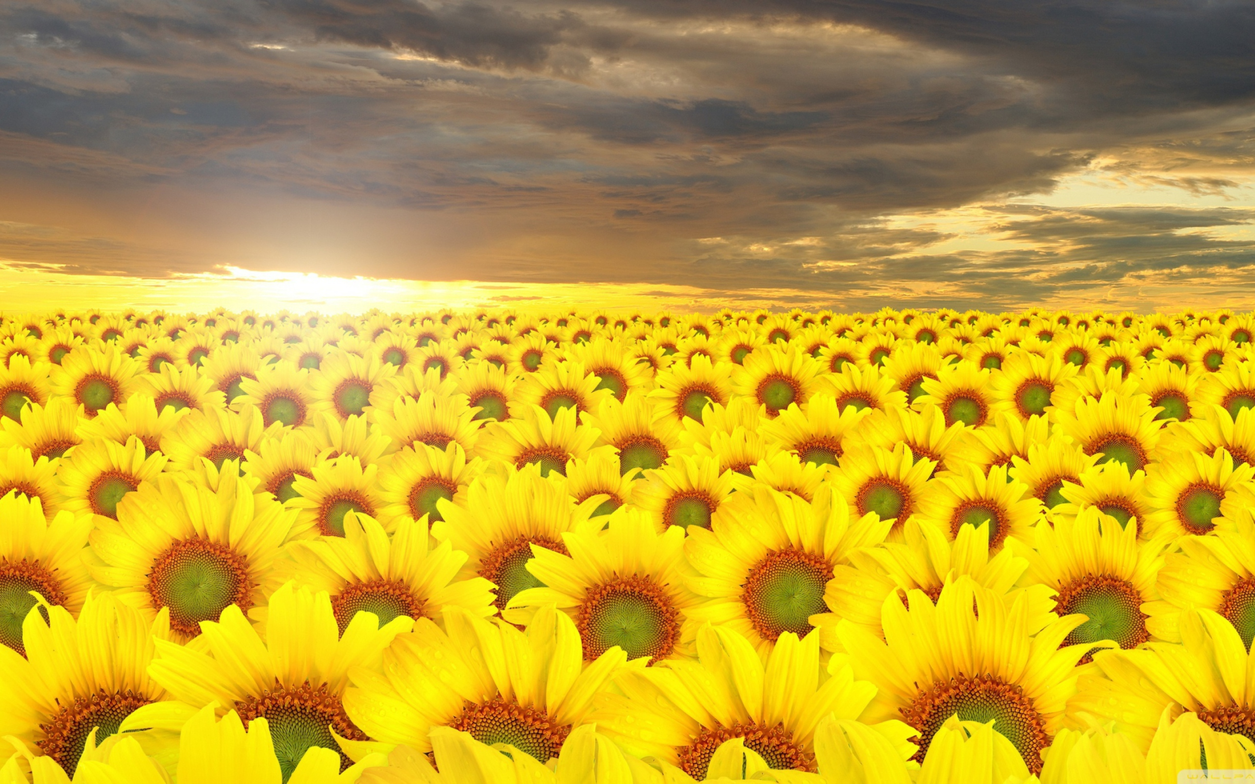 поле желтое закат  № 680918 без смс