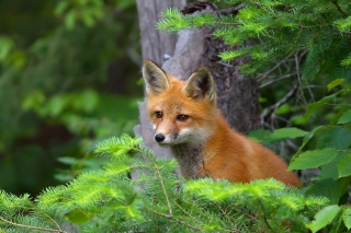 Free Little Fox Kid Picture for Android, iPhone and iPad
