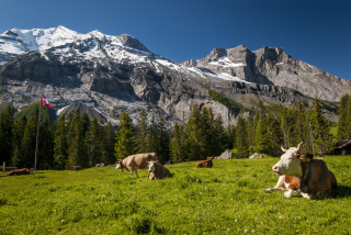 Switzerland Mountains And Cows Background for Android, iPhone and iPad