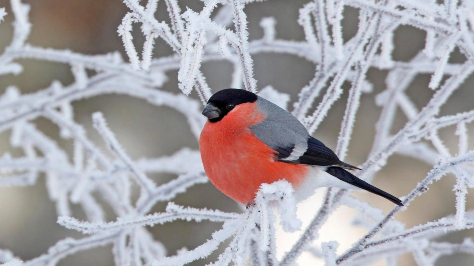 Обои зима птицы на рабочий стол