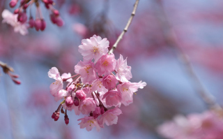 Sakura Pink Flowers Background for Android, iPhone and iPad