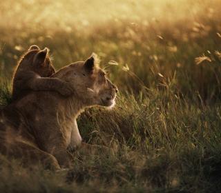 African Lion - Obrázkek zdarma pro iPad Air