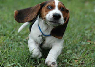 Free Appenzeller Dog Puppy Picture for Android, iPhone and iPad
