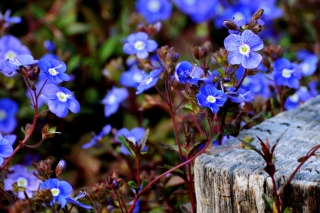 Little Blue Flowers Background for Android, iPhone and iPad