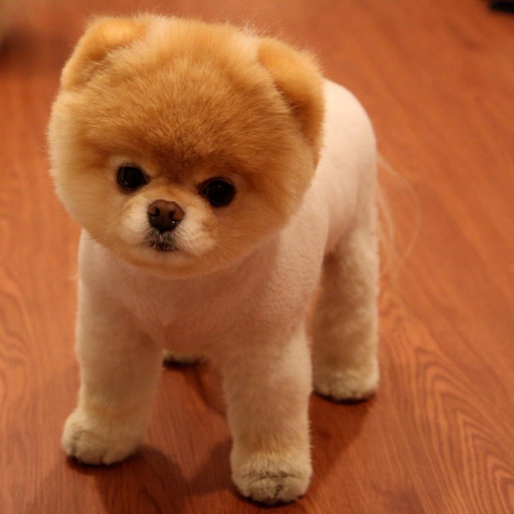 Cute Boo Dog Wallpaper For IPad Mini