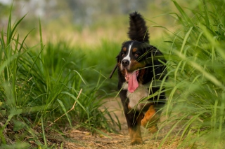 Big Dog in Grass Picture for Android, iPhone and iPad