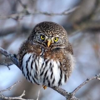 Owl - Obrázkek zdarma pro 320x320