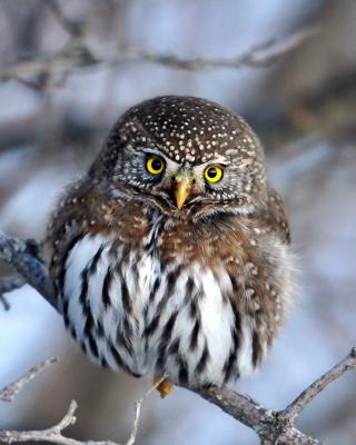 Owl - Obrázkek zdarma pro 640x960