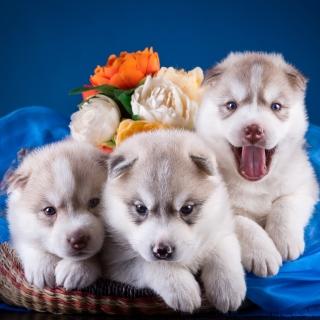 Husky Puppies - Obrázkek zdarma pro iPad