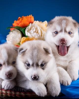 Husky Puppies - Obrázkek zdarma pro Nokia C3-01 Gold Edition