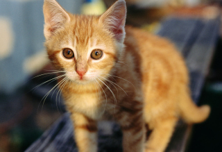 Little Ginger Kitten Background for Android, iPhone and iPad