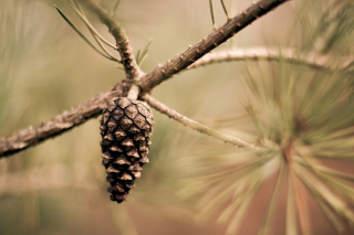 Fir Cone Wallpaper for Android, iPhone and iPad