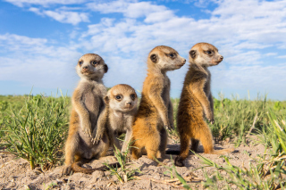 Suricates Background for Android, iPhone and iPad