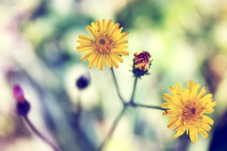 Yellow Daisy Background for Android, iPhone and iPad