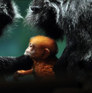 Baby Monkey With Parents - Obrázkek zdarma pro 208x208