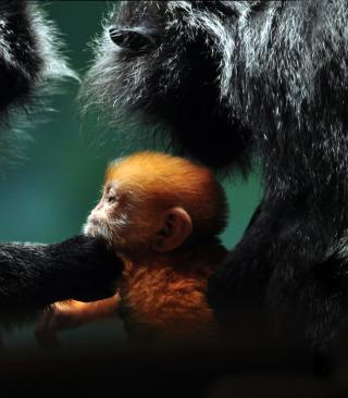 Baby Monkey With Parents - Obrázkek zdarma pro 480x640