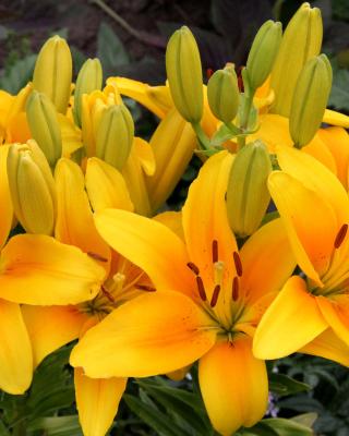 Yellow Lilies - Obrázkek zdarma pro Nokia X7